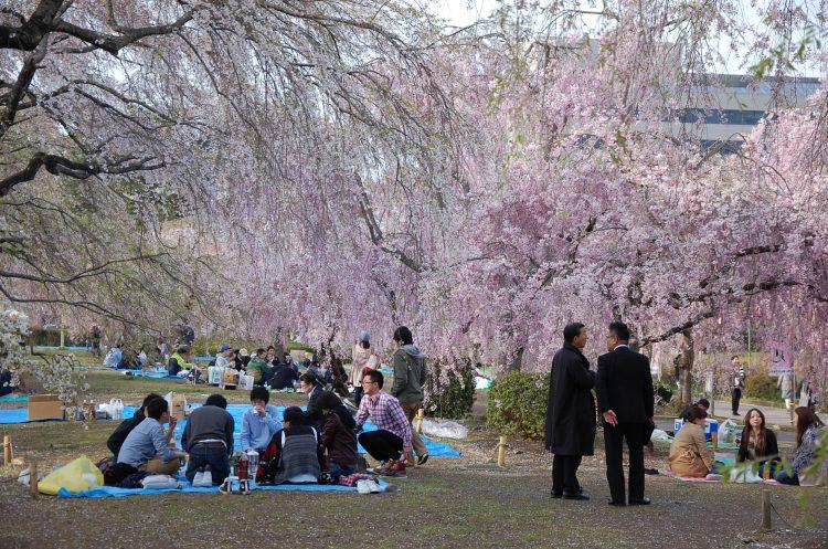 Kwitnące wiśnie wJaponii